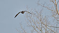 Male Mallard (Anas platyrhynchos) in Flight - London, Ontario 01.jpg