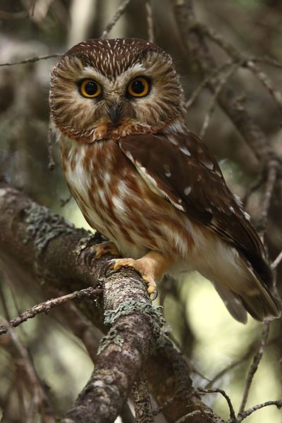 File:Male Northern Saw-whet Owl (7178821913).jpg
