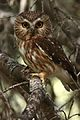Male Northern Saw-whet Owl (7178821913).jpg