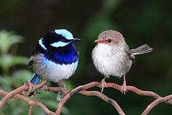 Male and female superb fairy wren.jpg