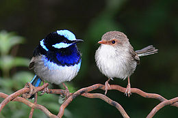260px-Male and female superb fairy wren