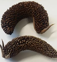 Two dry male cones lie side by side on a table