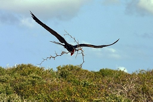 Male greater frigate bird building nest