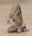 Male pale tussock moth - calliteara pudibunda (28498253448).png