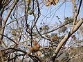 Mallotus polycarpus (8502201321).jpg