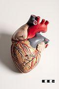 Mammal heart model 02- FMVZ USP-04.jpg