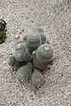 Mammilaria Geminispirna-Mexico (1) (11983170804).jpg