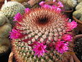 Mammillaria (4509128604).jpg
