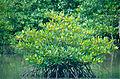 Mangrove (Rhizophora sp.) (14606063886).jpg