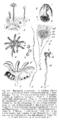 Marchantia polymorpha Sporophyt Strasburger1900.png