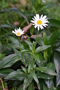 Margarita común (Leucanthemum maximum) - Flickr - Alejandro Bayer.jpg