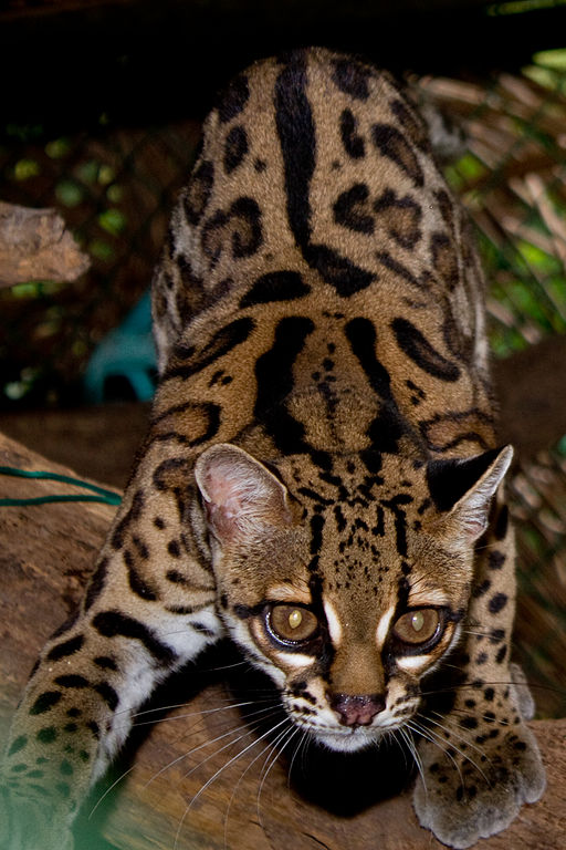Margay - Leopardus wiedii, Summit Municipal Parque, Panama. By Brian Gratwicke.