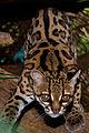 Margay (Leopardus wiedii).jpg