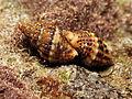 Marine Snail (15784515274).jpg