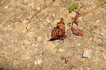 Mariposa tomando el sol.JPG
