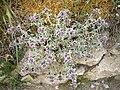 Marrubium supinum 1 (Espagne).JPG