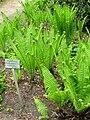 Matteuccia struthiopteris - Berlin Botanical Garden - IMG 8632.JPG