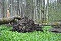 Mežs ar lakšu lauku, Ogresgala pagasts, Ogres novads, Latvia - panoramio.jpg