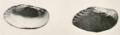 Medionidus simpsonianus 1905.png