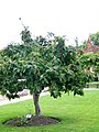 Medlar tree, Winchester - geograph.org.uk - 1478057.jpg