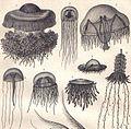 Medusozoa.jpg
