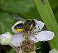 Megachile cetuncularis. Patchwork Leafcutter Bee (35371281643).jpg