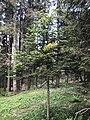 Melampsorella caryophyllacearum on Abies alba Italy.jpg