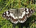 Melanargia larissa, Nymphalidae.jpg