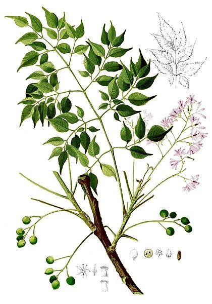 lila de Persia, hierbas medicinales, venenos caseros