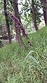 Melica altissima sl2.jpg