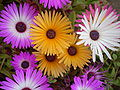 Mesembryanthemum 0.2 R.jpg
