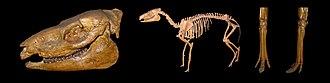 Mesohippus - Skeleton