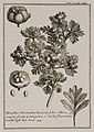 Mespilus Orientalis, Tanaceti folio villoso, magno fructu pentagono, e viridi flavorescente Coroll Inst Rei herb 44 - Tournefort Joseph Pitton De - 1717.jpg