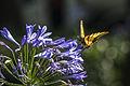 Mexico df - Papilio cresphontes 1.JPG