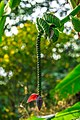 Miami - Fairchild Tropical Botanic Garden - well hung plant - obviously male! (12260193634).jpg