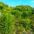 Miami Beach - Sand Dunes Flora - Green Plants and Bushes 01.jpg