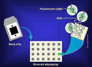 Molecular diagnostics - A microarray chip contains complementary DNA (cDNA) to many sequences of interest. The cDNA fluoresces when it hybridises with a matching DNA fragment in the sample.