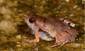 Microhyla laterite adult male.png