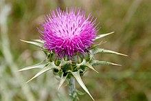 Mariatistel (S. marianum), blomkorg.