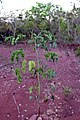 Mimosa multiceps.jpg
