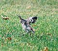 Mockingbird Chick016.jpg