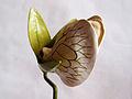 Modell einer Blüte von Fabaceae (Hülsenfrüchtler) (2).jpg