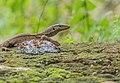 Monitor Lizard (125143537).jpeg
