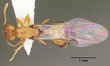 Pharaoh ant - Wikipedia