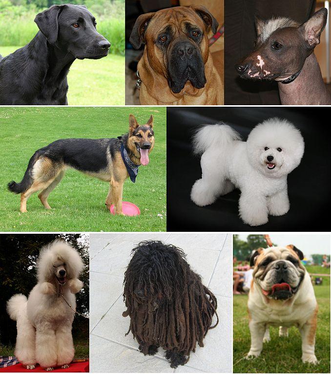 Plemená psov