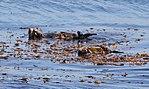Monterey Sea Otters (14962810023).jpg