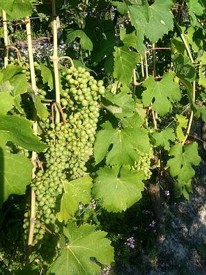 Asti wine - Moscato bianco grapes (pre-veraison)