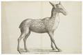 Moschus americanus - 1700-1880 - Print - Iconographia Zoologica - Special Collections University of Amsterdam - UBA01 IZ21600027.tif