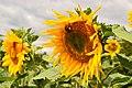 Moscow sunflowers (21595909415).jpg