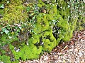 Mossy wall - geograph.org.uk - 756588.jpg